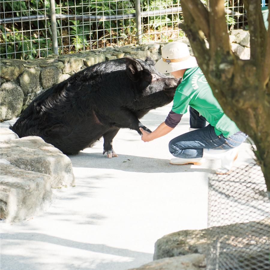希少な在来豚アグーは島の宝