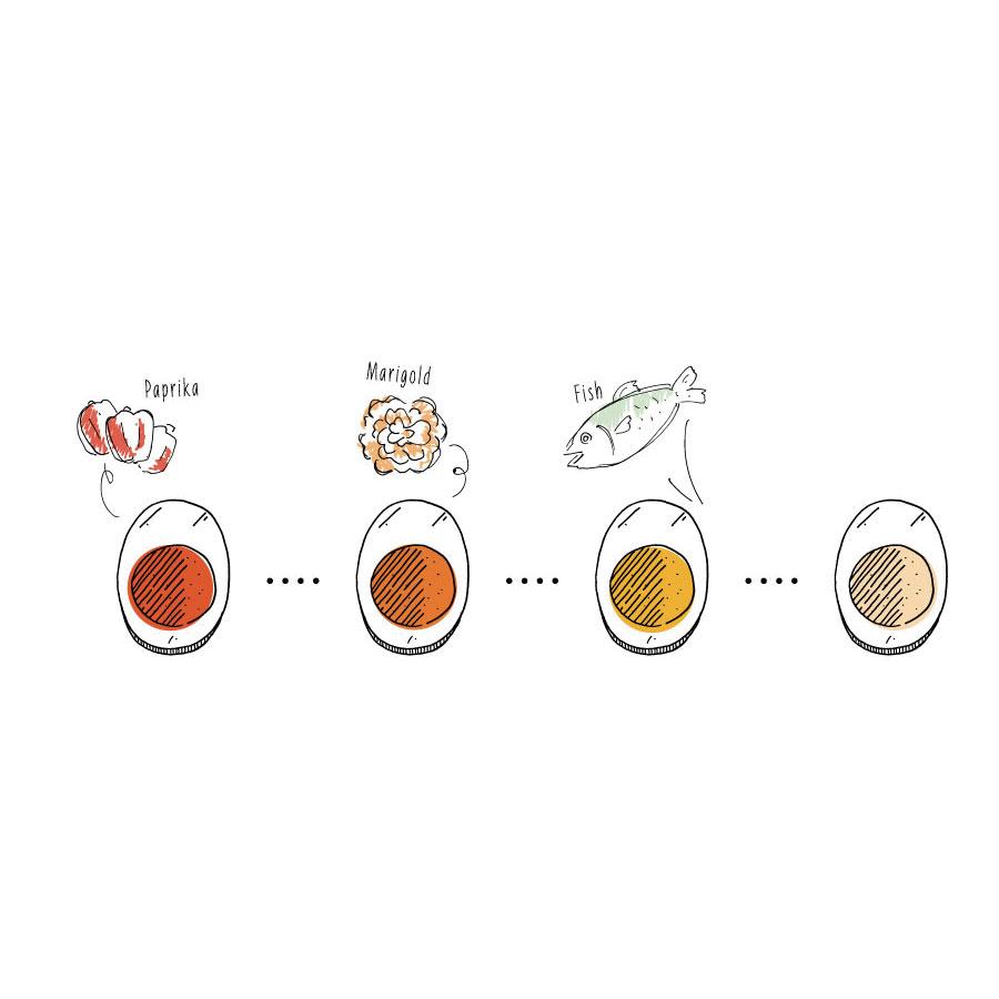 卵の黄身の色の違いが生まれる理由