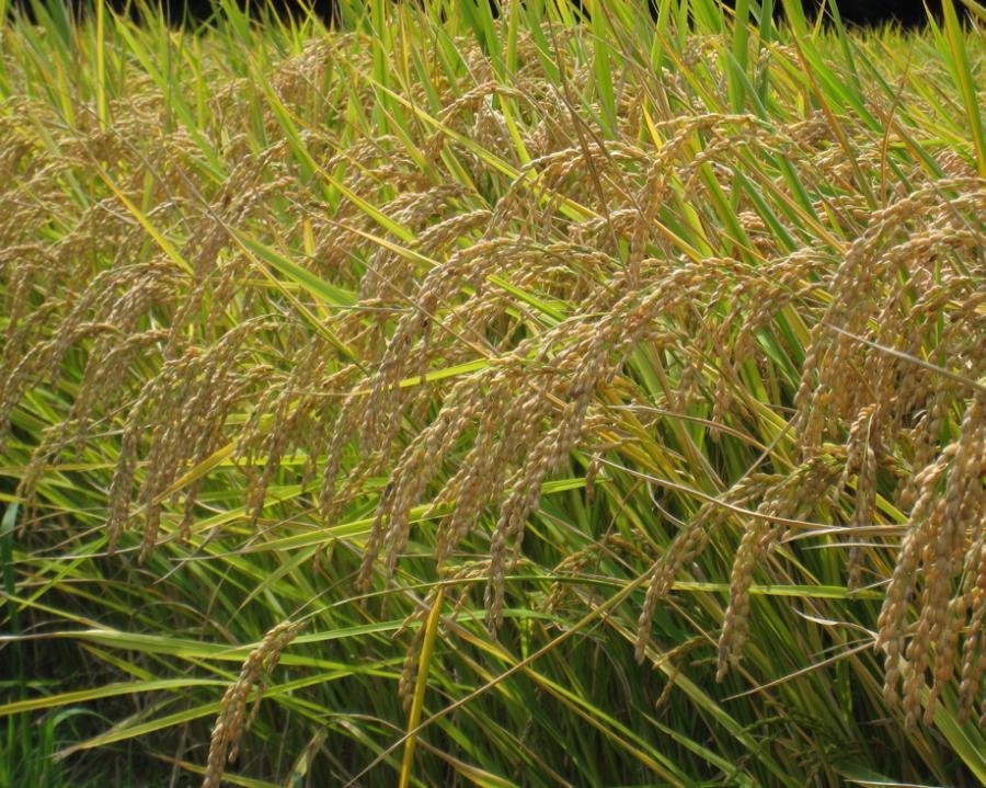 三重県の玉瀧米