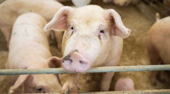 ふかふかのベットのうえで過ごす豚の気持ち良さそうな顔が印象的だった。
